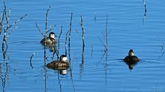 RUDDY DUCK 14 (k.nanney) Tags: ruddyduck oxyurajamaicensis ducks waterfowl stifftailducks divingducks texasbirds texaswildlife villagecreekdryingbeds arlington texas tx tarrantcounty nikon d7500 tamronsp150600mmf563divcusd kennethnanney kennanney nanney