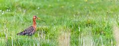 But, I'm fine on the grass as well! (matthew0310851) Tags: belgique belgium vlanderen flandres uitkerkse polders natuur nature oiseaux vogels herbes observations