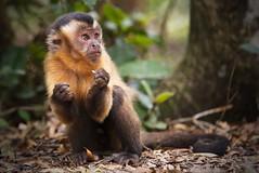 Brown capuchin monkey (Cebus or Sapajus apella) (Stefan Zwi.) Tags: tamron70200f28 primate primat affe kapuzineraffe afrika südafrika africa southafrica ngc npc naturethroughthelens