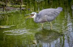 Heron with fish meal. (njohn209) Tags: birds d500 nikon nz