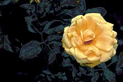 Yellow Rose-Abstract. (maginoz1) Tags: flowers roses red pink yellow abstract foliage flora art contemporary manipulate curves bullarosegarden melbourne victoria australia canon g3x