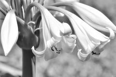 Lighting up winter! (Nina_Ali) Tags: blackandwhite monochrome flowers flora petals flowerart