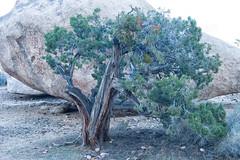 untitled (91 of 125).jpg (xen riggs) Tags: desert california joshuatreenationalpark february2018