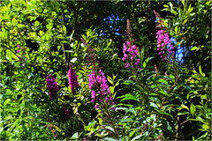 Rosebay Willowherb (Julie (thanks for 8 million views)) Tags: chamerionangustifolium sliderssunday rosebaywillowherb 100flowers2018 topazglow colourful beautifulnature greenroadgarden canoneos100d foxglove wexford ireland irish flora epilobiumangustifolium lowpov