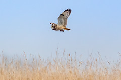 Happy Shorty, not so happy 'passenger'. (PIX SW) Tags: shortie shortearedowl owl raptor bird flying wings
