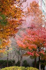 Autumn in Seoul 2 (Gilead Photography) Tags: autumnleaves autumncolours autumnseason colourful leaves colourfulleaves fall korea seoul beauty nature naturephotography travelphotography