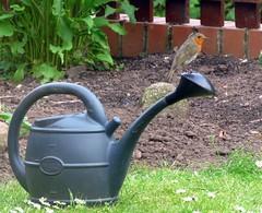 Robin (Deida 1) Tags: robin bird garden wateringcan uk staffordshire