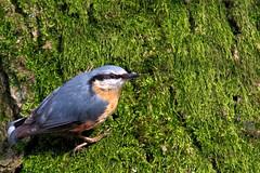 Kleiber / eurasian Nuthatch (uwe125) Tags: animal vogel kleiber beute prey nuthatch wildlife tier baum holz