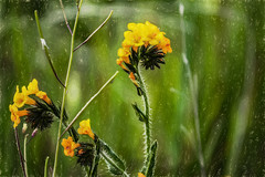 Neckercise (p) (davidseibold) Tags: fall america benaroad california colororange fiddleneck jfflickr kerncounty nature photosbydavid postedonello postedonflickr unitedstates usa wildflower