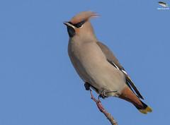 Waxwing @ Hednesford, Staffs (Mick Erwin) Tags: nikon afs 600mm f4e fl ed vr lens tc14e teleconverter iii d850 mick erwin stoke trent staffordshire wildlife nature waxwing hednesford tree sky bird