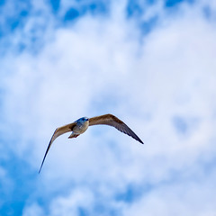 Goéland 2 (thierrybalint) Tags: goéland oiseau bird oiseaudemer ciel sky nuages clouds nikon nikoniste plagesduprado prado marseille balint thierrybalint vol flight