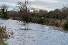 FIGHTING SWANS [ ROYAL CANAL BETWEEN BROOMBRIDGE AND ASHTOWN]-148318 (infomatique) Tags: birds swans fight wildlife nature water canal royalcanal canalwalk sony a7riii batis zeiss 135mmlens williammurphy infomatique fotonique ireland