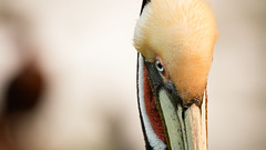 Brown Pelican Eye-Ball Shot - La Jolla, California (thomas_hill) Tags: sunrise brownpelican lajolla california usa