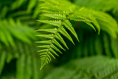 Fern Leaves - Colour-0136 (JayDeWinne) Tags: green fern leaves patterns colours leaf nature flora plant forest nopeople backgrounds botany beautyinnature vector abstract lushfoliage branchplantpart frond closeup freshness depth selectivefocus naturalpattern