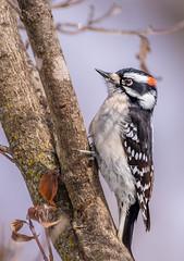 Downy Woodpecker - male (Lynn Tweedie) Tags: wood beak tail wing canon ngc animal blue 7dmarkii missouri tree bird sigma150600mmf563dgoshsm sky downeywoodpecker eye feathers eos branch