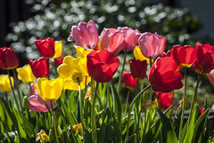 Colorful Tulips shining in the sun (Martin Bärtges) Tags: tulips blumen tulpen blüten drausen outdoor outside spring frühling frühjahr blossoms red rose pink yellow gelb rot sun sunshine sonne sonnenschein nikon d7000 nikonfotografie nikonphotography nature natur naturfotografie naturephotography