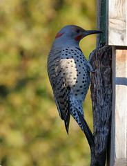 Intergrade Red-shafted, Yellow-shafted Northern Flicker, Male (brian.bemmels) Tags: redshaftedyellowshaftednorthernflicker northerflicker flicker nature fauna outdoors wildlife bird birdsofbc richmond bc britishcolumbia canada male integrate