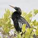 Anhinga bird Merritt Island National Wildlife Refuge  Florida