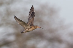Curlew (Glenn.B) Tags: gloucestershire nature slimbridge wwt wwtslimbridge curlew wader bird avian wildlife flight eurasiancurlew commoncurlew