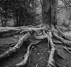 Raices II (borjamuro) Tags: árbol tree naturaleza nature raíces raiz roots root bw bn nikon d7100 forest bosque spain espana españa landscape