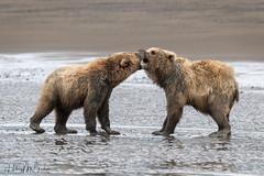 _HB32827 (Hilary Bralove) Tags: lakeclarknationalparkbrownbearsbearsalaskanikonwildlifegrizzlygrizzlybearbrownbearanimalswildlifephotographer alaksa brownbears grizzlybears bear bears grizzly brownbeargrizzly bearlake clarkwildlifealaska wildlifenikonlake clark national park