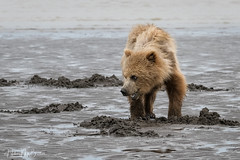 _HB31527 (Hilary Bralove) Tags: lakeclarknationalparkbrownbearsbearsalaskanikonwildlifegrizzlygrizzlybearbrownbearanimalswildlifephotographer alaksa brownbears grizzlybears bear bears grizzly brownbeargrizzly bearlake clarkwildlifealaska wildlifenikonlake clark national park