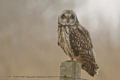 Short-eared Owl in the fog (Asio flammeus) (Fly~catcher) Tags: shorteared owl short eared asio flammeus fog post droplets fence wire bird prey