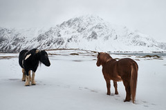 Horses in winter landscape (vandrende) Tags: lofoten nor nordland ramberg vareid norway horse cheval hest animal dyr norvege flakstad