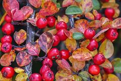 Red berries at Långholmen in Stockholm, Sweden 26/10 2015. (photoola) Tags: stockholm blommor bär långholmen flower leafs red autumn photoola sweden berries