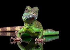 Chinese Water Dragon, CaptiveLight, Bournemouth, Dorset, UK (rmk2112rmk) Tags: chinesewaterdragon captivelight dragon lizard dof reptile reflection physignathus cocincinus herps animal waterdragon macro
