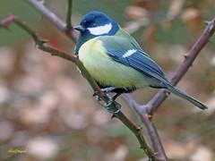 Carbonero común (Parus major) (12) (eb3alfmiguel) Tags: pájaros passeriformes insectívoros paridae carbonero común parus major