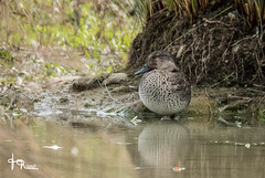 JMR-Ornitho4-311 (jmr_87) Tags: ariège canardchipeau domainedesoiseaux gadwall marecastrepera mazère midipyrénées oiseaux ornithologie