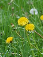 SK_2017-05-21_P1320206 (Stephan_66) Tags: löwenzahn blumen flower زهرة