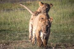 Time to Play (helenehoffman) Tags: africa pantera kenya felidae mammal amboselinationalpark synceruscaffer animal pantheraleo capebuffalo carnivore lion