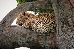 Leopard Lying on a Limb (helenehoffman) Tags: africa kenya pantheraparduspardus felidae mammal feline conservationstatusvulnerable cat africanleopard leopard bigcat maasaimaranationalreserve animal alittlebeauty coth specanimal coth5