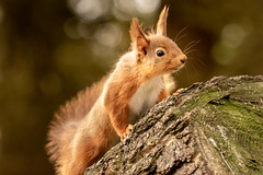 Litte Red (mandyhedley) Tags: redsquirrel squirrel red mammal northeastengland northumberland animal nationalgeographic