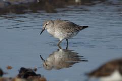 IMGP3100k  Knot, Titchwell beach, February 2017 (bobchappell55) Tags: titchwell beach wader bird nature wild wildlife knot calidriscanutus