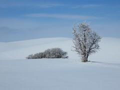Foothill Road Tree (bencbright) Tags: winter tree frost snow latah idaho landscape sx60 canonsx60 canon explored