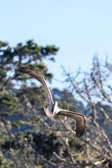 Point Lobos, December 2018 #4 (satoshikom) Tags: canoneos6dmarkii pointlobosstatenaturalreserve carmelbythesea carmel californiastateparks californiacoast canonef100400mmf4556lisiiusm brownpelican gibsonbeach