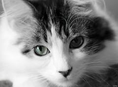 Noah (Lisa Zins) Tags: noah cat feline petsandanimals pets animals dmh lisazins white whiteandblack tabbymarkings monochrome blackandwhite face catface macro closeup eyes greeneyes