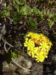 Aeonium spathulatum (Hornem.) Praeger (Peter M Greenwood) Tags: aeoniumspathulatum aeonium spathulatum