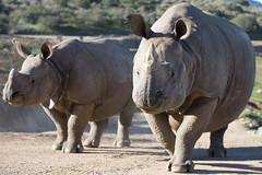 2018_02 rhino SDSP-2 (jplphoto2) Tags: jdlmultimedia jeremydwyerlindgren sandiego sandiegosafaripark blackrhino blackrhinoceros greateronehornedrhinoceros rhino rhinoceros zoo