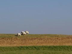 Spring in Holland (Johan Moerbeek) Tags: sheeps schapen dijk dike grass bluesky noordholland petten camperduin canon sx50hs leihoek