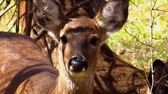 Last years Bambi (Hayseed52) Tags: whitetaildeer deer shadows treebranches virginia mammal
