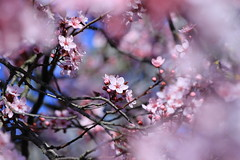 the spring peep show (°andre²a°) Tags: canon canoneosr macro pink flower flowers cherry blossom spring nature natural outside tree bokeh