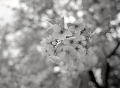 さくら (taotti_01) Tags: pentax pentax645 645 120 35mm f35 smc kodak 400tmax bw blackandwhite monochrome japan film filmcamera cherryblossoms