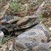 Timber Rattlesnake 1133