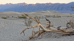 Fallen Tree (magnetic_red) Tags: tree dead wood twisted sand dunes mountains sunrise desert deathvalley nationalparks americanwest