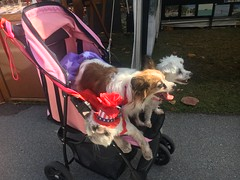There's a cat in a hat in that stroller (corsi photo) Tags: pets animals cute funny hat red stroller dogs cat