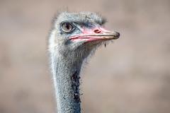 Male Ostrich Close-Up (helenehoffman) Tags: ostrich kenya aves conservationstatusvulnerable nature bird struthiomolybdophanes somaliostrich africa lewawildlifeconservancy blueneckedostrich animal